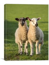 Twin Herdwick Lambs, Canvas Print