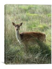 A very curious Fallow Deer, Canvas Print