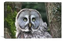 Great grey owl, Canvas Print
