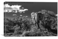Elephant, Addo Elephant National Park, Canvas Print