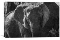 Young Elephant, Addo Elephant National Park, Canvas Print