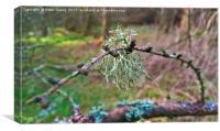 Lichen on a Twig, Canvas Print