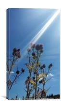 Sunlight on thistle, Canvas Print