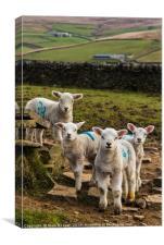 Curious Lambs, Canvas Print