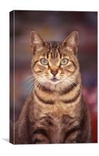 Tabby bold domestic cat, Canvas Print
