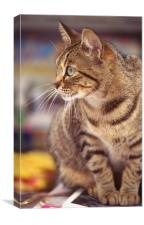 Tabby cat looking right, Canvas Print