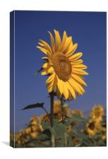 Sunflower standing alone, Canvas Print