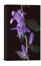 Bellflower, Black background, Canvas Print