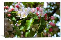 Pink and White Apple Blossom, Canvas Print