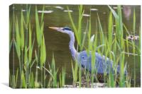 Grey Heron (Ardea cinerea), Canvas Print