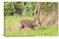 Muntjac Deer, Canvas Print