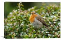 Little Robin Redbreast, Canvas Print