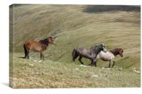 Wild Welsh Mountain Ponies,Snowdonia,Wales., Canvas Print