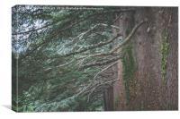 Big Old Cedar Trees, Canvas Print