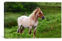 Portrait of Wild Pony Bodmin Moor Cornwall, Canvas Print