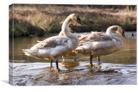 cygnet swans paddling, Canvas Print