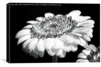 aster flower in the garden , Canvas Print