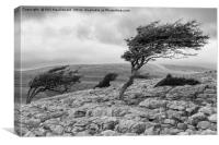 Windblown Tree, Twistleton Scar in the Yorkshire D, Canvas Print