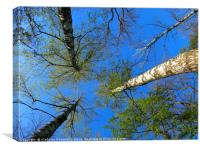 Birch trees on the background of the spring sky - , Canvas Print