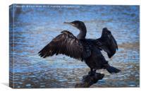 Cormorant spreading wings, Canvas Print