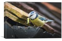 Blue Tit nesting in shed, Canvas Print