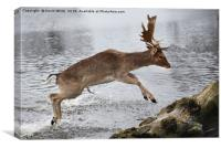 Young Deer jumping over log, Canvas Print
