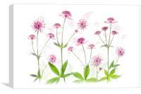 Astrantia Pink Flowers, Canvas Print