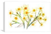 Spring Daffodils, Canvas Print