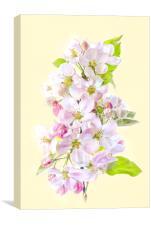 Apple Blossom Flowers, Canvas Print