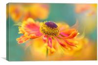 Orange Sneezeweed Flower, Canvas Print