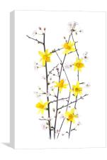 Daffodils and cherry blossom, Canvas Print