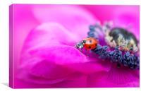 Ladybird on Anemone flower, Canvas Print