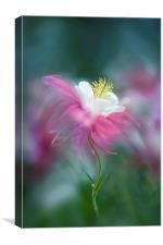 Columbine Pink Spring Flower , Canvas Print