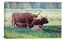 Highland cattle cows family on pasture, Canvas Print