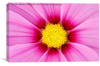 Closeup of pink flower with yellow stamens, Canvas Print