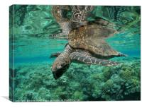 Ocean Turtle with Coral Background, Canvas Print