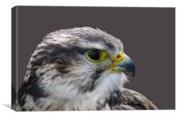 Saker falcon profile, Canvas Print