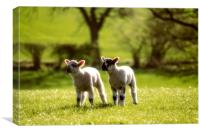 Two lambs, Canvas Print