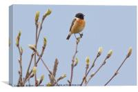 Male Stonechat , Canvas Print