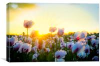 Thousands of white poppies under golden skies, Canvas Print