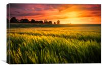 Sunset over a ripening wheat field, Canvas Print