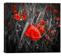 Dew-covered deep red poppies in a field, Canvas Print