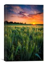 Sunset over a wheat field, Canvas Print