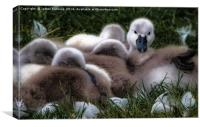 A cygnet huddle, Canvas Print