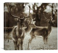 Group of deer in Belton Country Park, Canvas Print