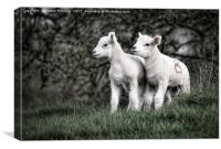 Pair of new born lambs, Canvas Print