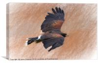 Flight of the Harris Hawk, Canvas Print