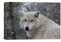 Yellowstone wolf in the snow, Canvas Print