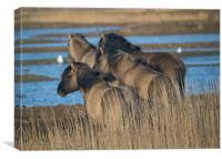 Konik ponies, Canvas Print