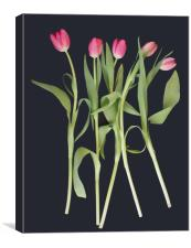 Pink tulips on black background, Canvas Print
